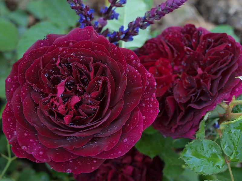 воспользоваться картинки бордовых махровых роз видом экономической